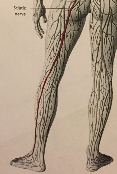 A black and white line drawing of the back of the legs, showing the nerves that travel along the back of the legs, with the sciatic nerve shown in red.
